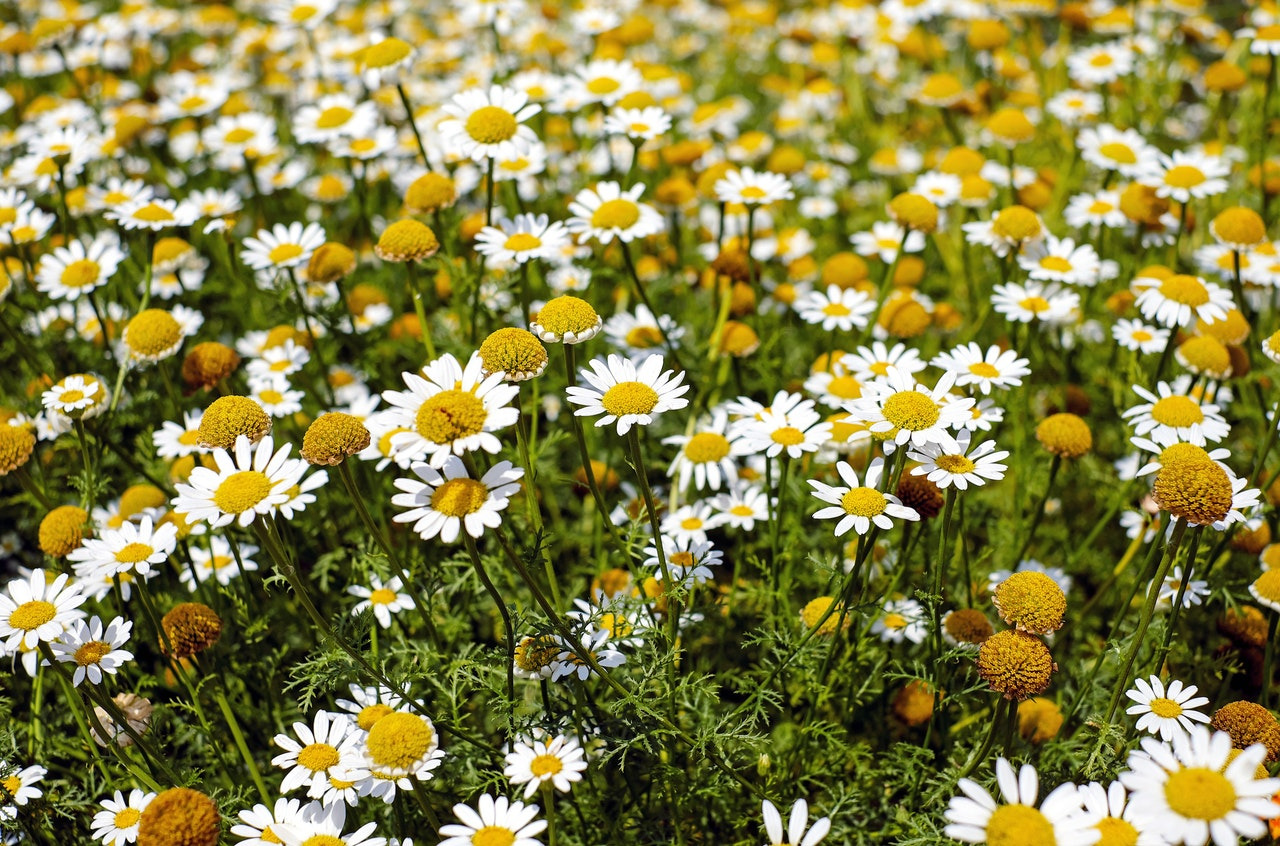 chamomile uses and benefits