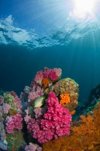 Under the sea, brown fish swimming near corals