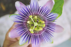 Passion flower help fight microbes in our organisms