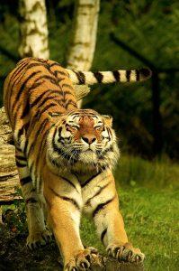 Tiger, daytime