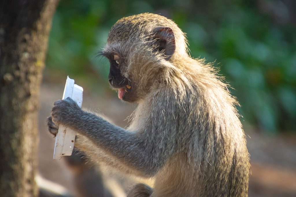 Monkey hiding plastic item in its hands