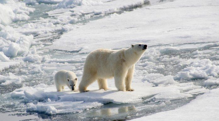 polar bears extinction global warming how I can protect polar bears