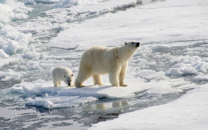 polar bears extinction global warming how I can protect polar bears